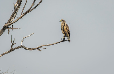 juvenile crested serpent-eagle