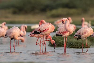 lesser flamingos near bedi port wetland, jamnagar