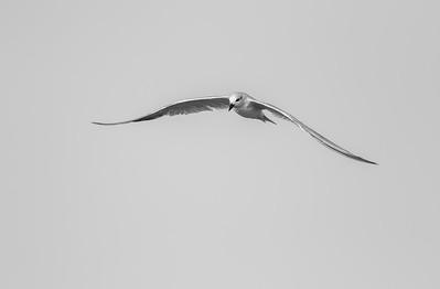 gull-billed tern at charakla saltpans near dwarka