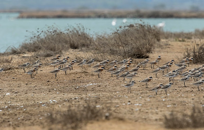 sand plovers in breeding plumage at vadinar saltpan