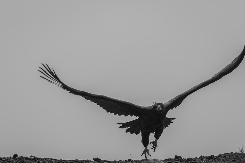 cinereous vulture, taking off