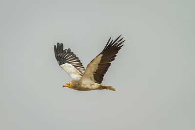 an adult of an egyptian vulture flying overhead