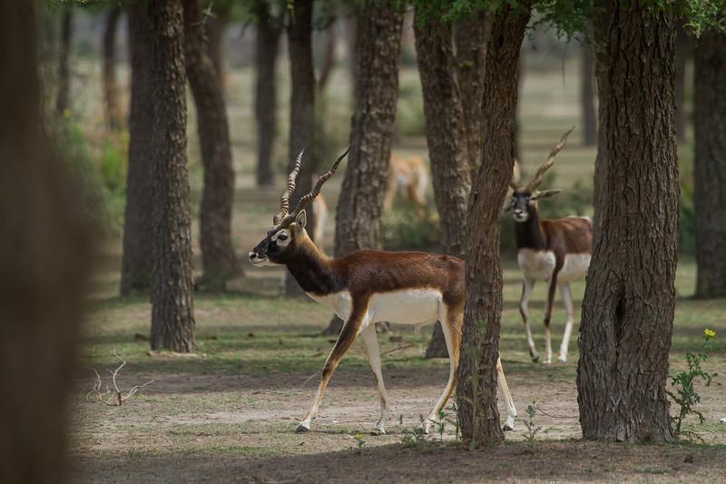 blackbucks among cineraria