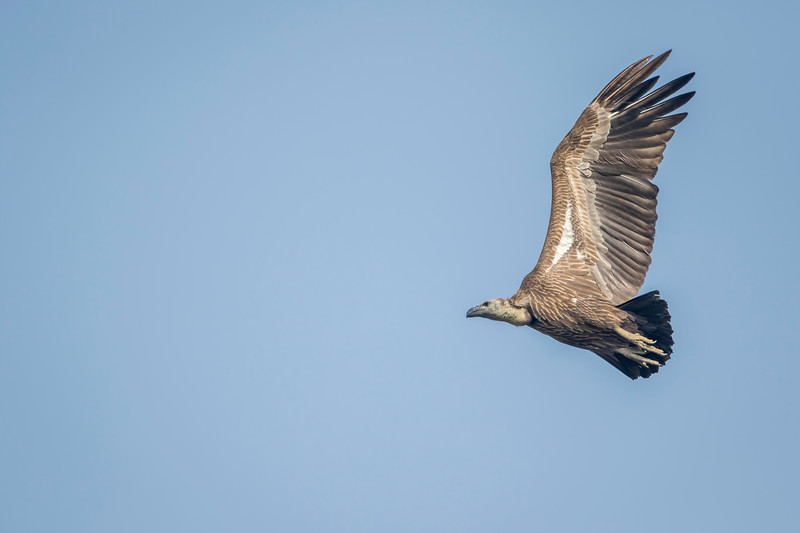 juvenile white-rumped vulture gaining height