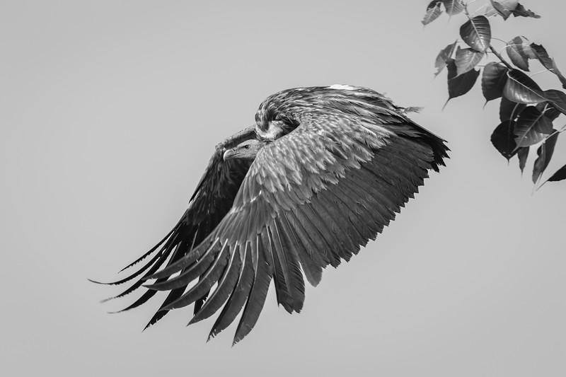 near-threatened himalayan griffon, taking off