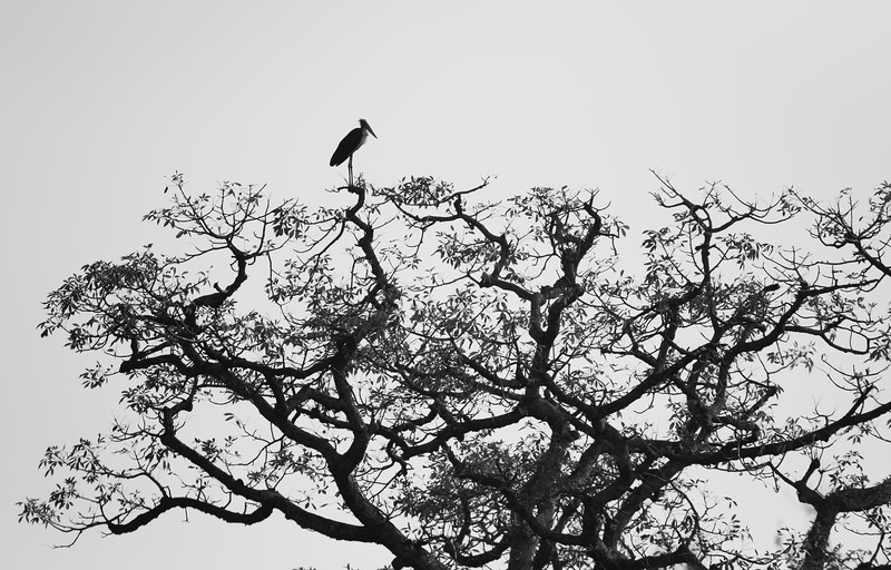 vulnerable lesser adjutant at the top of large simal tree on the banks of geruwa