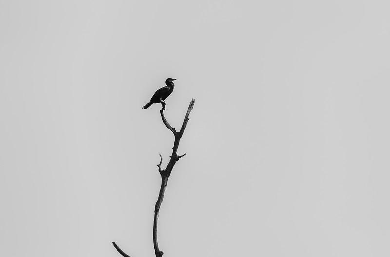 a lone cormorant