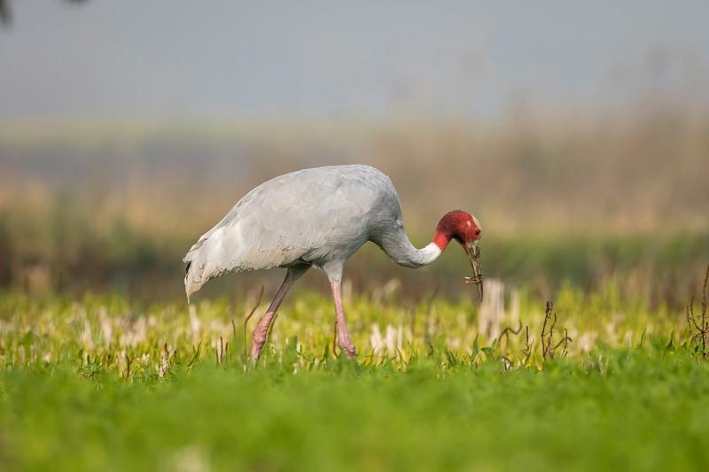 female busy feeding in the marshy paddyfield