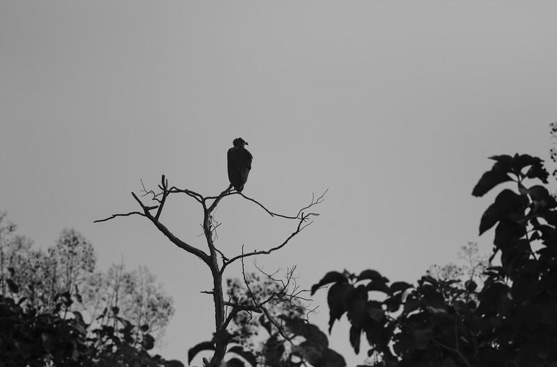 near-threatened cinereous vulture at suhelwa
