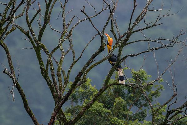 Great hornbill (female) at Varatparai