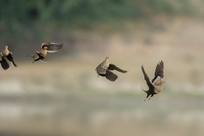a flock of chestnut-bellied sandgrouse, preparing to land, one male and three females in the frame
