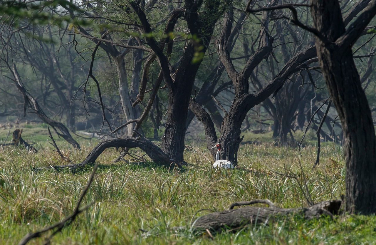 sarus crane at bharatpur, incubating the eggs