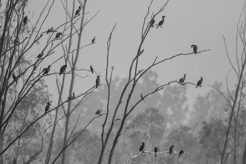 great cormorants at bhindawas wildlife sanctuary