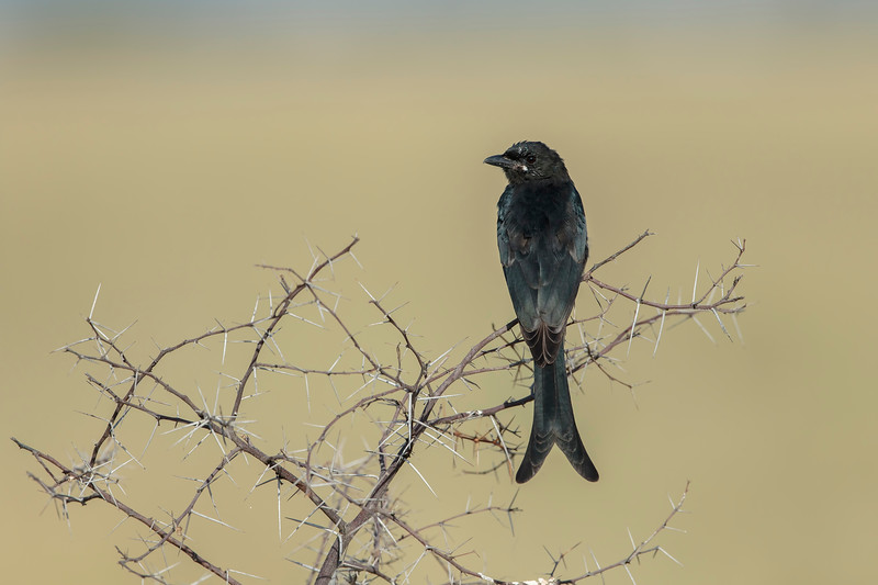 black drongo, probably juvenile