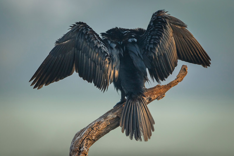busy cormorant