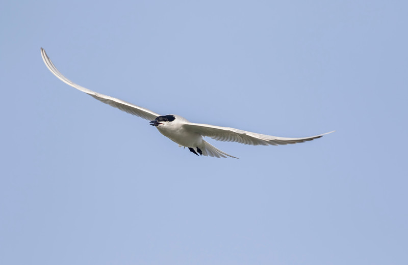 gull-billed tern in breeding plumage