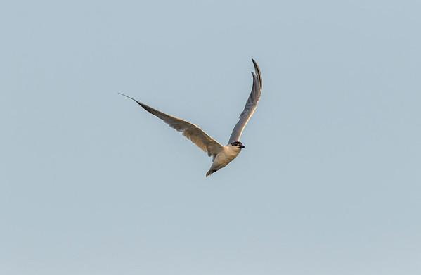 gull-billed tern in breeding plumage