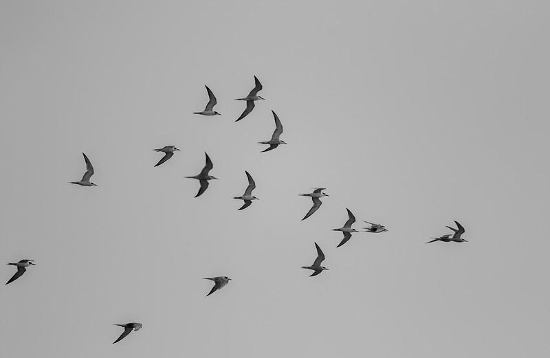 a flock of gull-billed tern, chhaya rann, porbandar