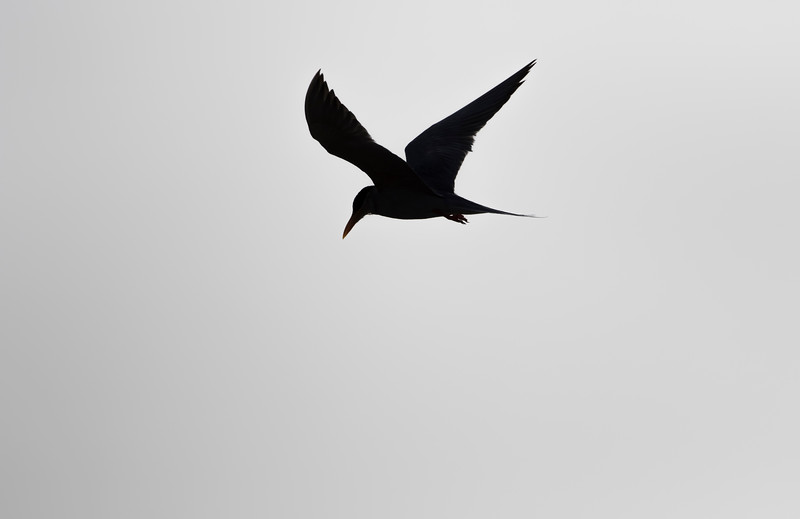 river tern at dhareshwar reservoir near rajula