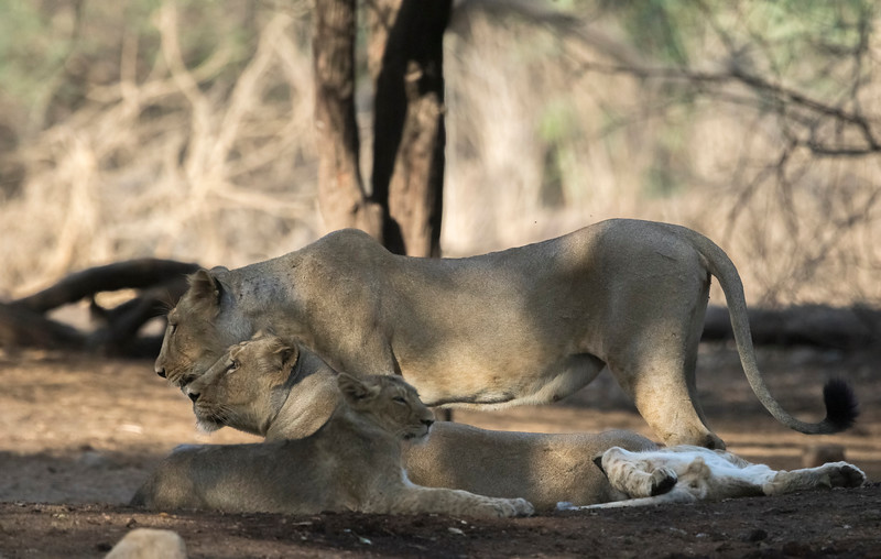 lion pride at gir np