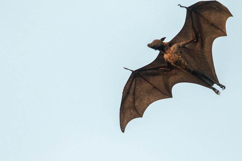 flying fox (shot on the way to sasan gir)