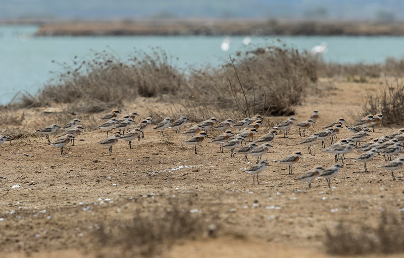 sand plovers in breeding plumage at vadinar saltpan