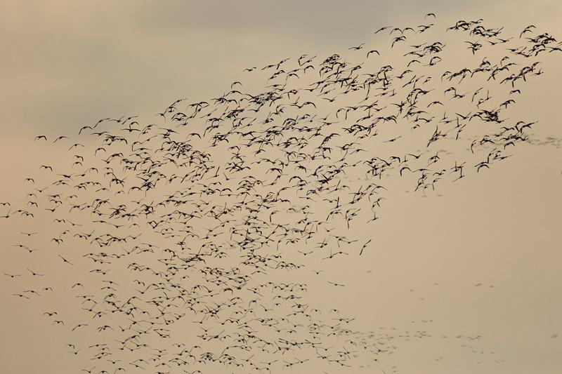 a huge flock of lesser flamingos at chhaya rann
