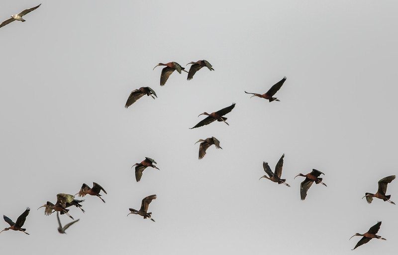 glossy ibis flock at a wetland near bedi port, jamnagar