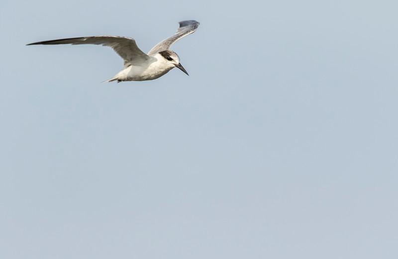 juvenile of little tern