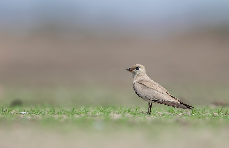 small pratincole at fofal dam