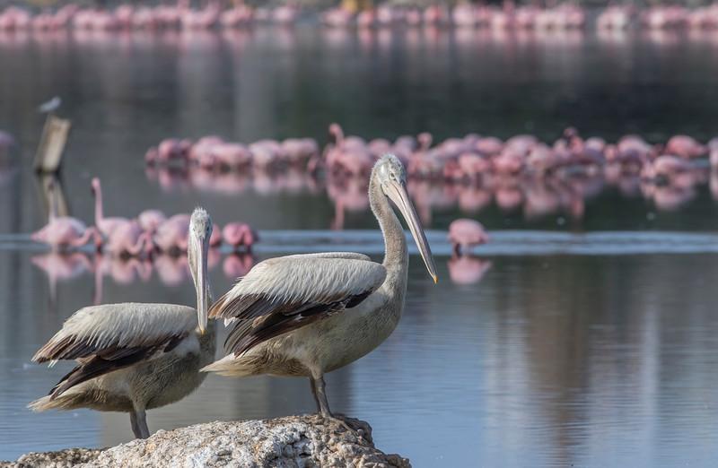 dalmatian pelicans at porbandar bird sanctuary