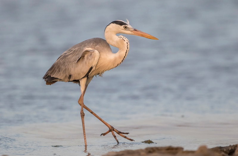 grey heron at charkhla saltpans near dwarka