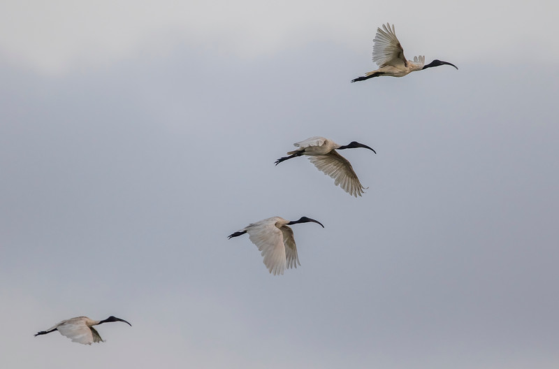 black-headed ibis at chhaya rann