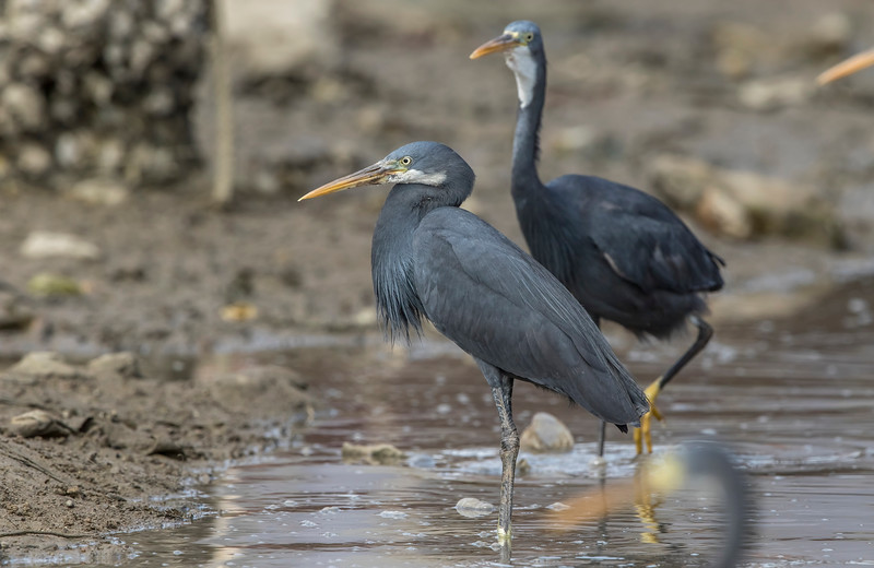 western reef heron at okha