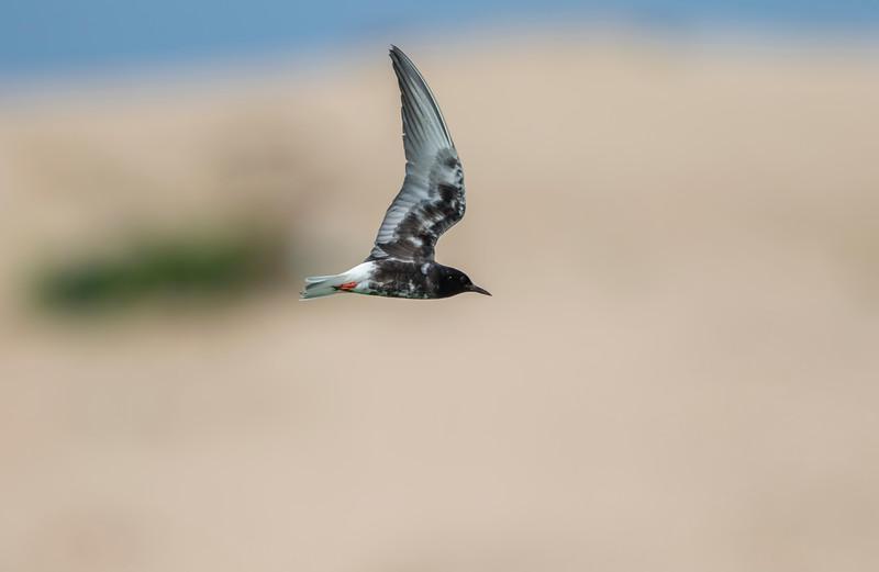 white-winged tern in breeding plumage