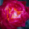WarrenL_Contemplation_Rose