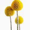 Pycnosorus globosus, Golden drumstick