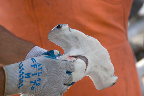20080811_shark_tagging