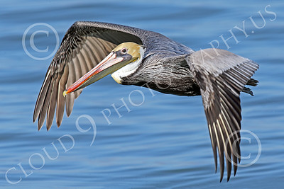 California Brown Pelican 00348 A California brown pelican flys low over San Francisco Bay wild bird picture by Peter J Mancus