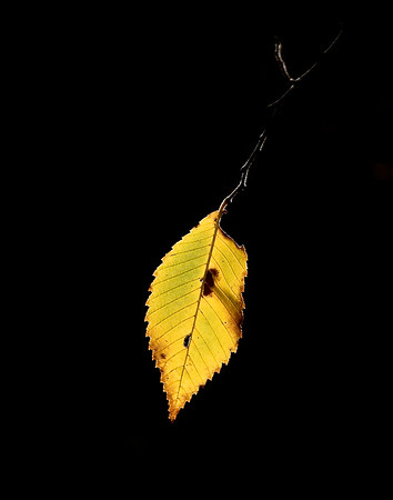 Leaf in Sunlight.