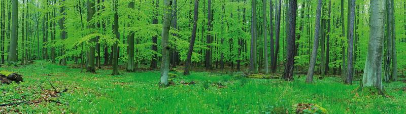 Buchenwald in Mecklenburg Schön Grün