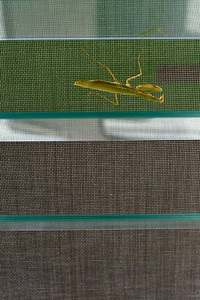 09_08_24 praying mantis 0027