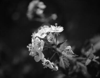 09_03_08 Anza Borrego Flowers 0575