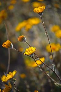 09_03_08 Anza Borrego Flowers 0504