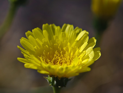 09_03_08 Anza Borrego Flowers 0264