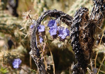 09_03_08 Anza Borrego Flowers 0079