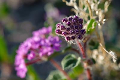 09_03_08 Anza Borrego Flowers 0335