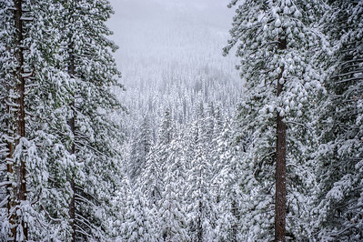 trees in the storm, Sonora Pass, CA