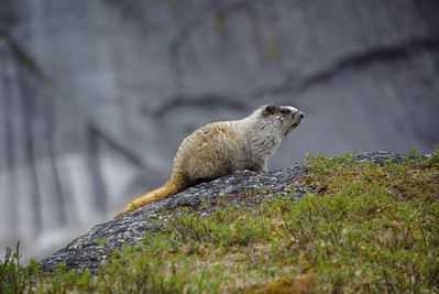 Friendly neighborhood Marmot