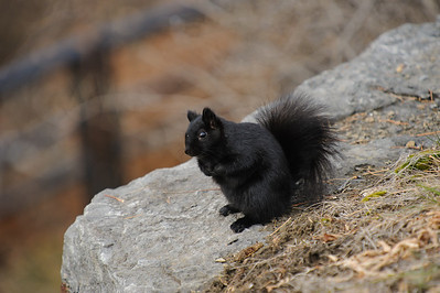 Squirrel!!! (a little shout out to pixar). Machelle needed a picture of a black squirrel. I don't think she believed they existed.